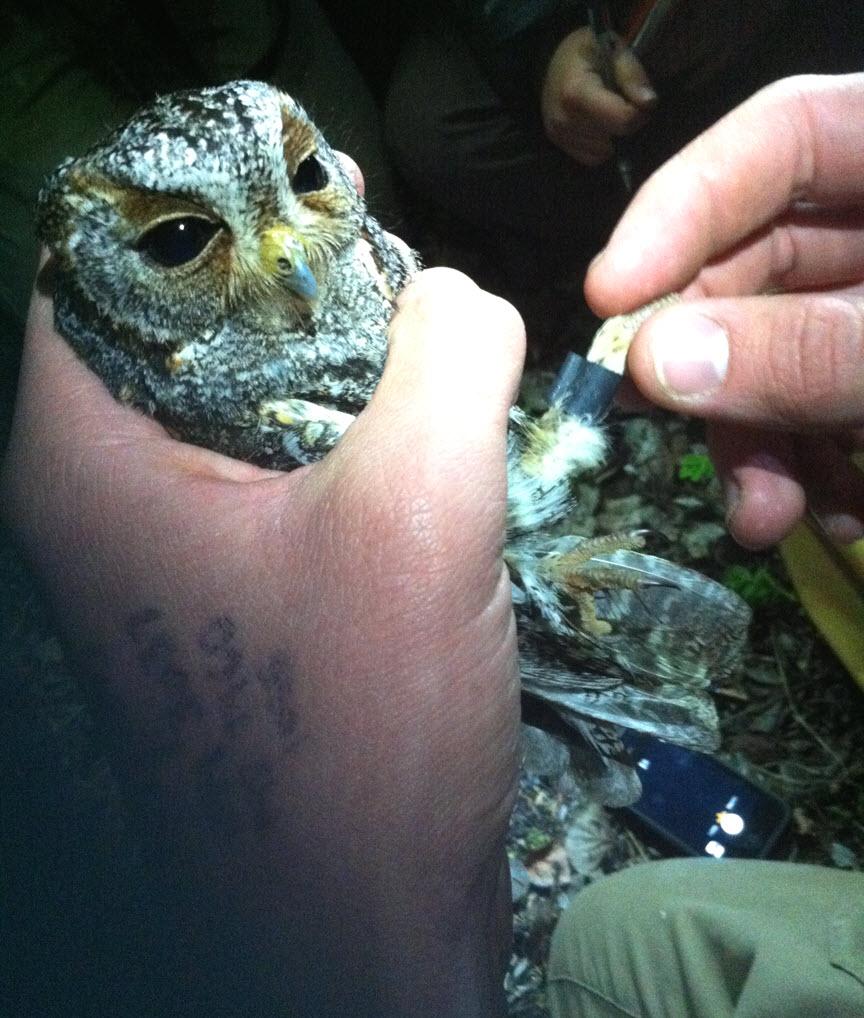 Flamm Owl w-RFID tag_RossCalhoun