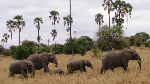 Elephants move great distances to find food. Photo: George Powell