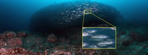 SalemaFish_Galapagos_GigaPan 1200