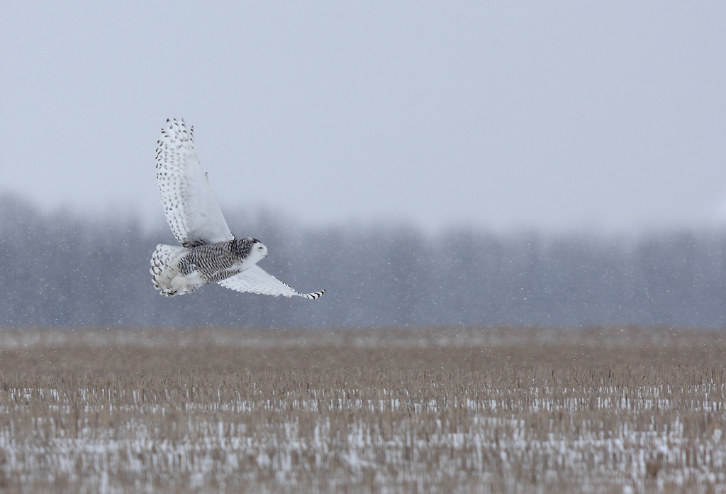 Snowy owl takes flight_JimCumming-RedBubble