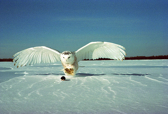 Snowy owl hunting_Boreal-Wikimedia