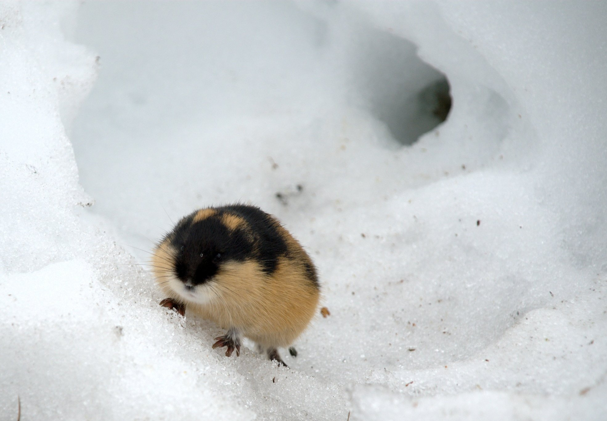 lemming_kgleditsch_Flickr-creativecommons