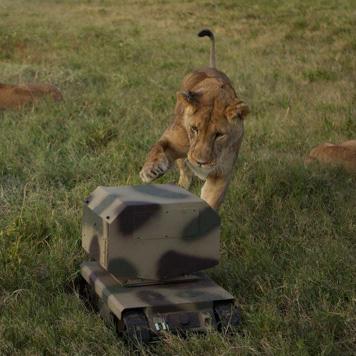 lion swatting superdroid_NatGeo