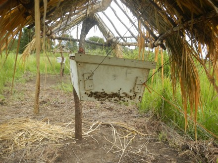 Bees congregate at the entrance to a hive. The hive is part of a beehive fence between Mikumi National Park and private farms in Tanzania. Photo courtesy of Alex Chang'a.