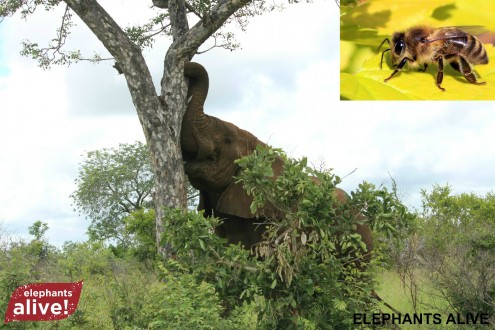 This elephant might not be so forward with the tree if there were a beehive defending it. Image courtesy of Robin Cook.