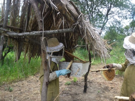 Vitus Pango and Albogast Mkude harvest honey from a beehive fence in Tanzania. Photo courtesy of Alex Chang'a.