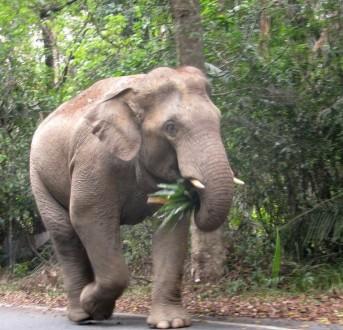 Khao Yai elephant on road walking 1_small