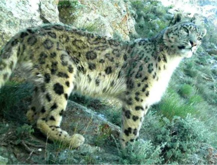 Snow leopard_in_Afghanistan