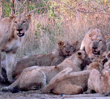 SA Kruger lions dining_caught their eye_crop