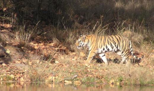 tiger walking along stream, India