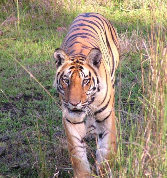 Tiger in Bandevgarh NP, India
