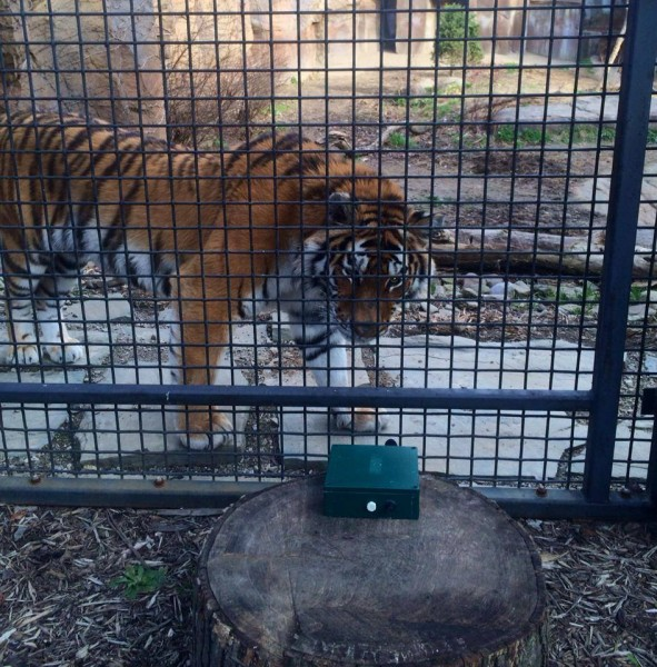 Amur tiger being recorded at Erie Zoo