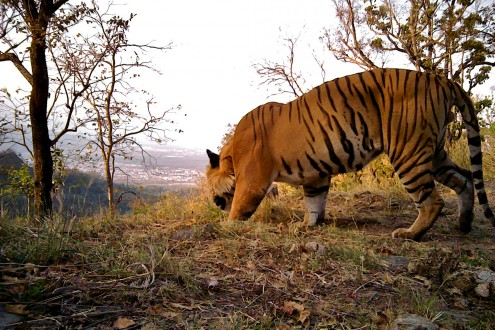 A tiger caught in an infra-red camera trap near the edge of a forest and human settlements. Photo credit: Dr. Bivash Pandav