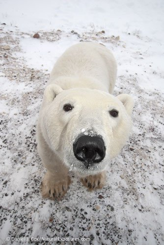 a-curious-polar-bear-ursus-maritimus-male-check_polar bears intl