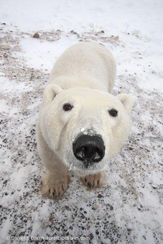 a-curious-polar-bear-ursus-maritimus-male-check_polar bears intl