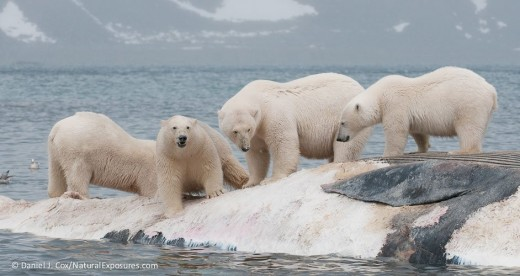 polar-bears-feeding-on-the-carcass-of-a-fin-whale_DanielJCox-NaturalExposures