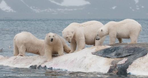 polar-bears-feeding-on-the-carcass-of-a-fin-whale_DanielJCox-NaturalExposures