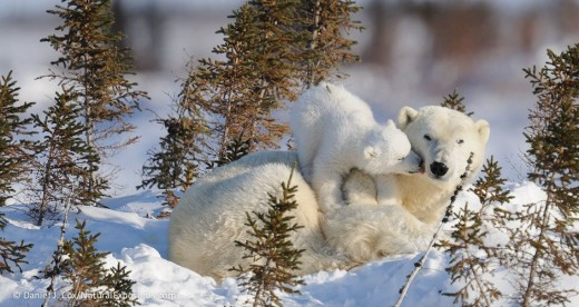 polar-bear-mother-and-cub-recently-out-of-the-den_polar bears intl
