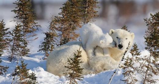 polar-bear-mother-and-cub-recently-out-of-the-den_polar bears intl