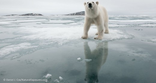 polar-bear-in-svalbard-norway-daniel-j-coxnatur-3_polar bears intl