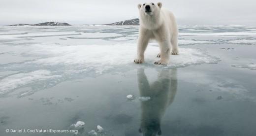 polar-bear-in-svalbard-norway-daniel-j-coxnatur-3_polar bears intl