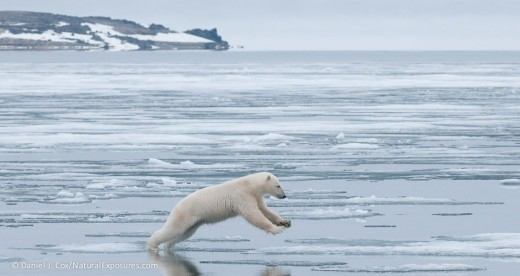 polar-bear jumping to ice in-svalbard-norway-daniel-j-cox-NaturalExposures