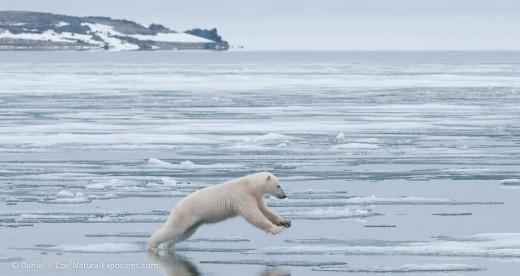 polar-bear jumping to ice in-svalbard-norway-daniel-j-cox-NaturalExposures
