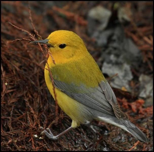 Warbler carrying sticks as nesting material