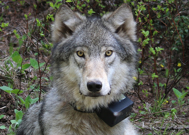 As wolves enter California, researchers are trying to understand the predators' impact on large herbivores. Image courtesy of the  Oregon Department of Fish & Wildlife under a creative commons license.