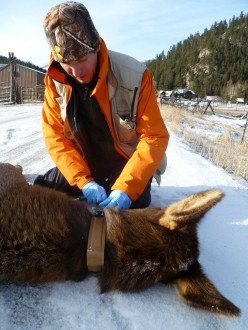Mark Hebblewhite attaches a GPS collar to an adult female elk captured via a helicopter net gun in Montana's Bitterroot Valley. Photo courtesy of Mark Hebblewhite.