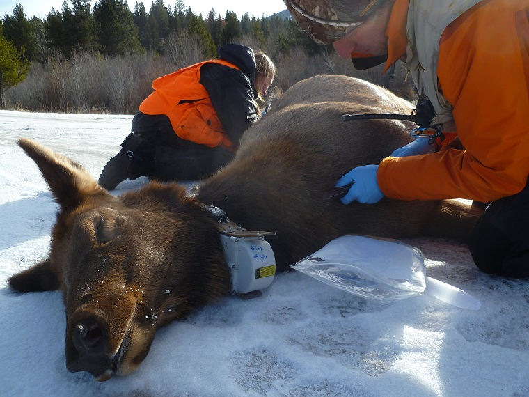 Mark Hebblewhite and Kelly Proffitt use an ultrasound to measure an adult female elk's body condition in Montana's Bitterroot Valley. The elk was captured via a helicopter net gun and sports a GPS collar around her neck. Photo courtesy of Mark Hebblewhite.