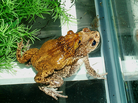 "A male Puerto Rican crested toad mates with a female toad at the Fort Worth Zoo. Their embrace, known as ""amplexus,"" enables the male to fertilize the female's eggs externally. Photo courtesy of the Fort Worth Zoo."