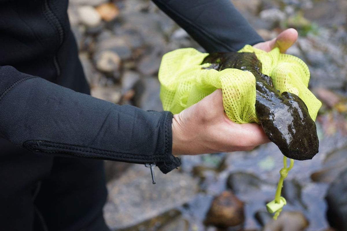 A biologist handles an Eastern hellbender during a 2013 survey. Photo by Gary Peeples/USFWS.