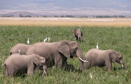 Amboseli ellies_SP_web