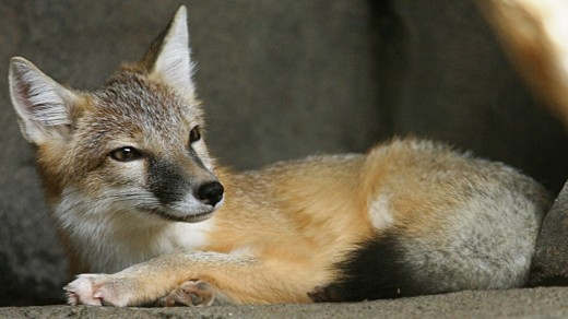 A swift fox resting.