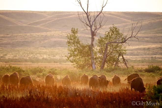 Bison in the APR at sunset
