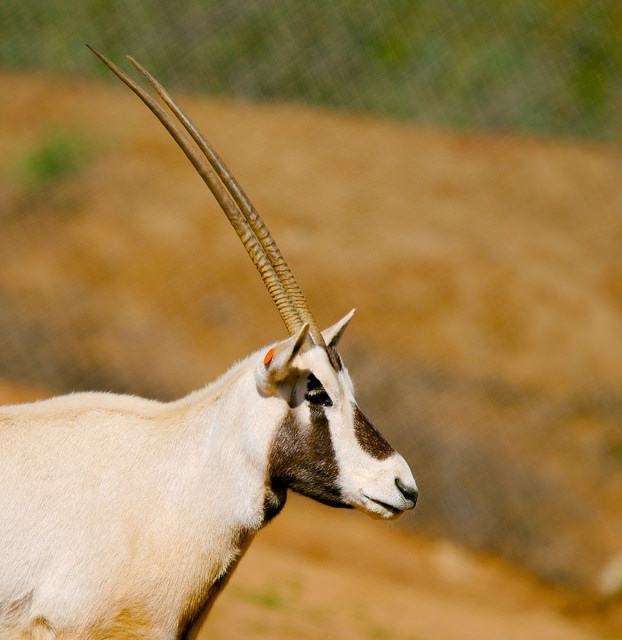 Arabian oryx showing off it's unicorn resemblance and beautiful