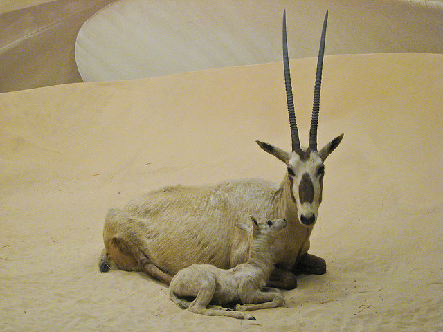 Oryx and Calf