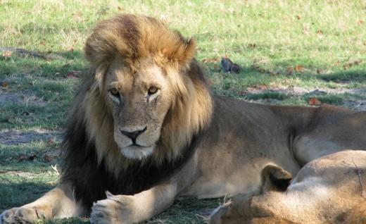 Botswana big male lion 2_web