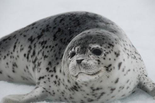 Ice seal_NOAA_from Carly_web