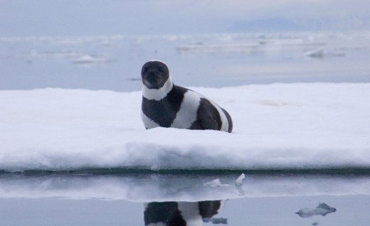 Male ribbon seal_Michael Cameron NOAA-NMFS-AKFSC-NMML