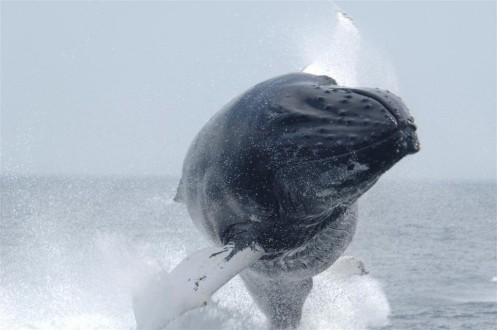 Humpback whale defying gravity_Brandon Southall NMFS-OPR