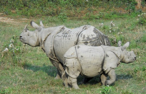 rhino & baby_Chitwan_web