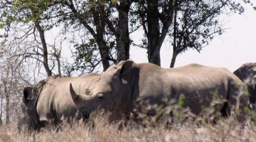 Kruger white rhinos_web