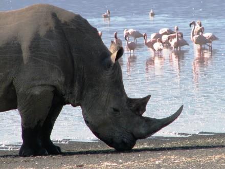 Rhino with flamingos_web