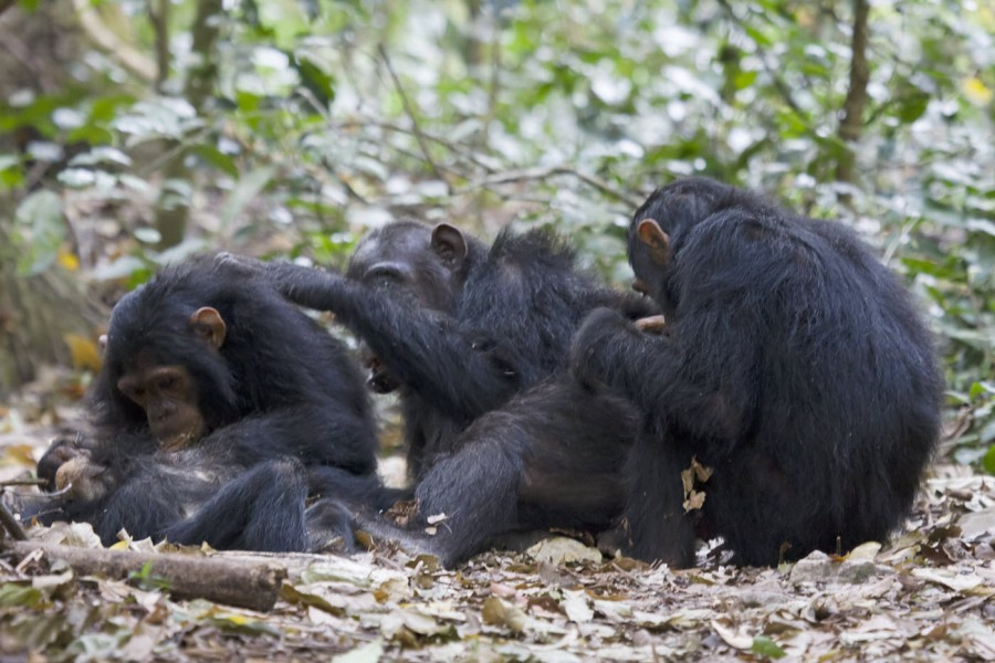 Just like us, chimps love to hang out and share quality time. Photo credit: Ikiwaner, under Creative Commons license