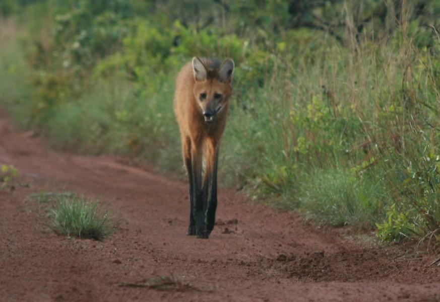 A long-legged maned wolf strides down a dirt road, Brazil.