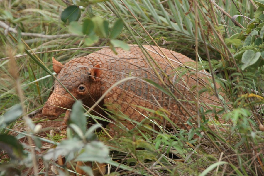 Giant armadillo in the grass