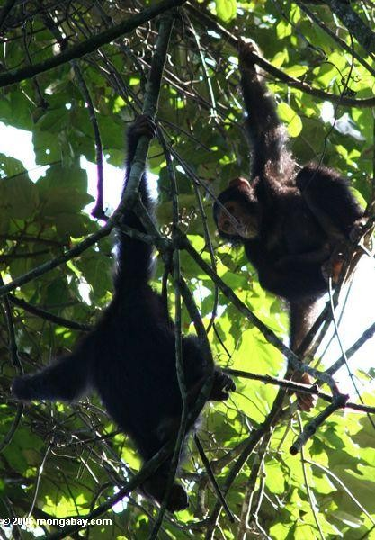 Juvenile chimps hanging out in the forest canopy