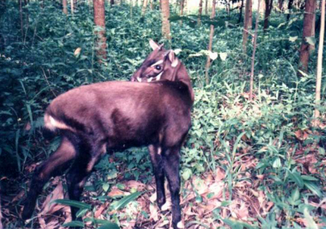 In Laos' Phou Sithone Endangered Species Conservation Area, SMART helps law enforcement curb saola poaching. Photo credit: Silviculture